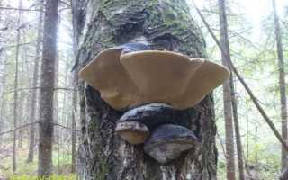 Трутовик ложный дубовый: описание вида и где растет, фото