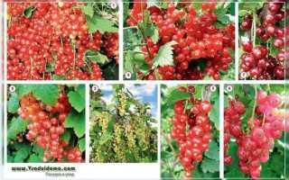 Смородина красная: описание сорта с фото, отзывы, посадка и уход