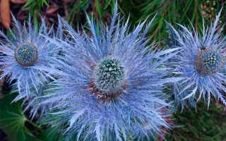 Синеголовник полевой: описание сорта с фото, отзывы, посадка и уход