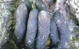 Гипоксилон бурый: описание вида и где растет, фото