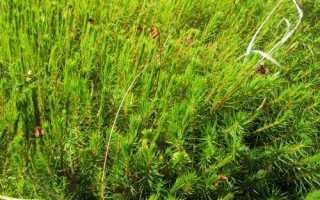 Политрих, или политрихум сжатый (Кукушкин лён): описание с фото, где растет, свойства