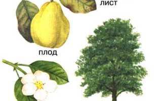 Айва обыкновенная: описание сорта с фото, отзывы, посадка и уход