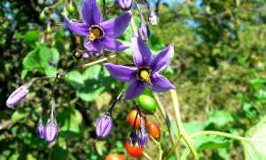 Паслен сладко-горький (красный): описание вида и где растет, фото
