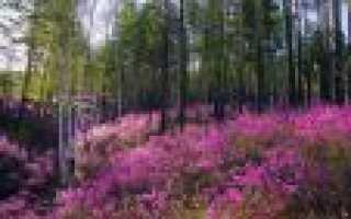 Нардия лестничная: описание с фото, где растет, свойства