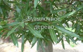 Брахитеций, или брахитециум тополевый: описание с фото, где растет, свойства