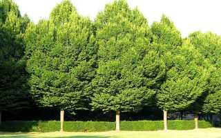 Прейссия квадратная: описание с фото, где растет, свойства