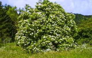 Бузина травяная (вонючая): описание вида и где растет, фото