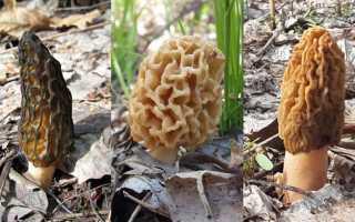 Сморчок настоящий: описание вида и где растет, фото