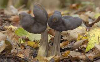 Лопастник ямчатый: описание вида и где растет, фото