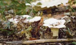 Что значит условно-съедобные грибы?