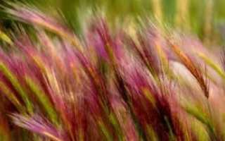 Неккера перистая: описание с фото, где растет, свойства