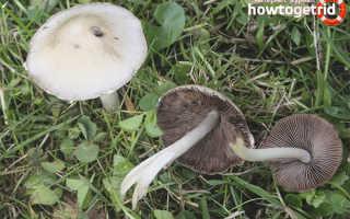 Псатирелла ватная: описание вида и где растет, фото