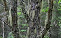 Гипогимния трубчатая: описание с фото, где растет, свойства