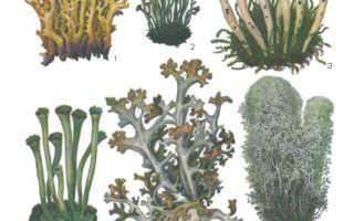 Кладония альпийская: описание с фото, где растет, свойства