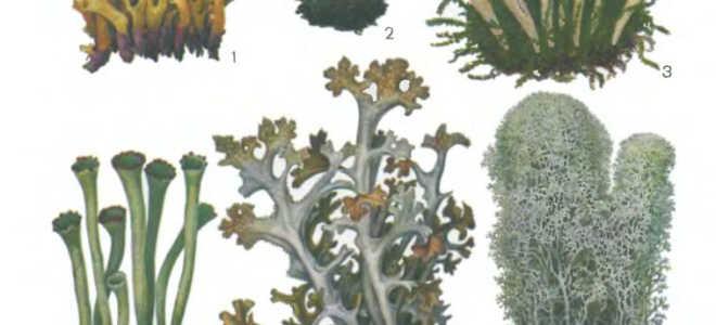 Тамнолия червеобразная: описание с фото, где растет, свойства