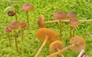 Галерина Болотная: описание вида и где растет, фото