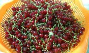 Рецепт Смородиновый сироп: как приготовить, фото