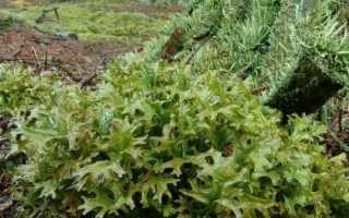 Плеурозий, или плевроциум Шребера: описание с фото, где растет, свойства