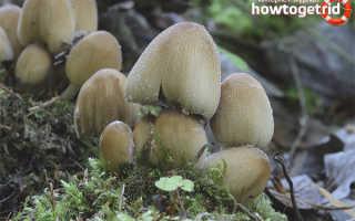 Навозник мерцающий: описание вида и где растет, фото