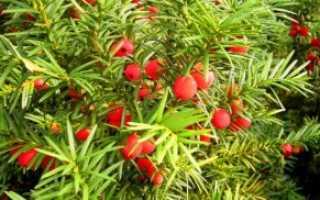 Тис ягодный: описание сорта с фото, отзывы, посадка и уход