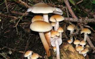 Ложноопенок серно-желтый: описание вида и где растет, фото