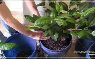 Чайное дерево: описание сорта с фото, отзывы, посадка и уход