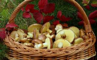 Масленок рубиновый: описание вида и где растет, фото
