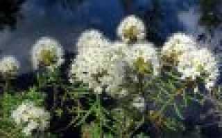 Улота кудрявая: описание с фото, где растет, свойства