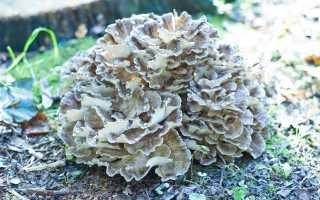 Грифола зонтичная: описание вида и где растет, фото